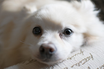 Pomeranian Stare