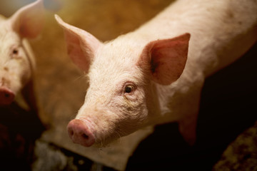 Pig portrait at pig farm.