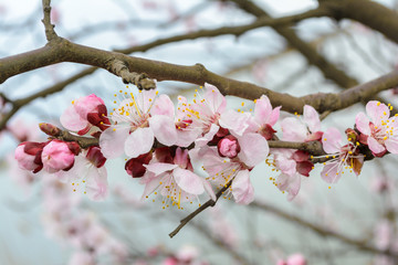 Branch of blossoming tree with pink flowers. Spring flowering.