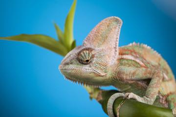 Green chameleon,lizard on blue background