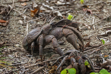 Coconut Crab. The coconut crab (Birgus latro) is a species of terrestrial hermit crab, also known as the robber crab or palm thief. It is the largest land-living arthropod in the world.
