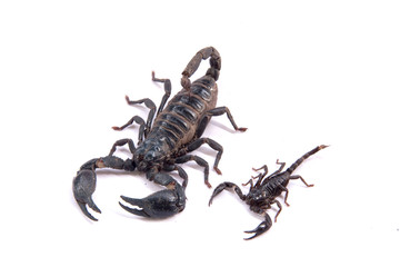 Scorpions on a white background