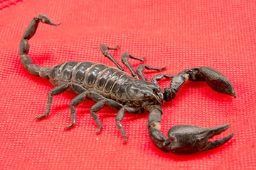 scorpion on  background