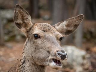 Portrait of female deer (Cervus elaphus)