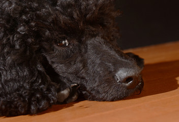black cute  poodle dog