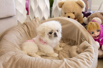 Dog fashion. White Pekingese. Small dog.