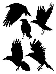 Rook, Crow, Raven birds silhouette. Good use for symbol, logo, mascot, web icon , sign, or any design you want.
