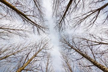 Chopos canadienses hacia el cielo. Populus canadensis.