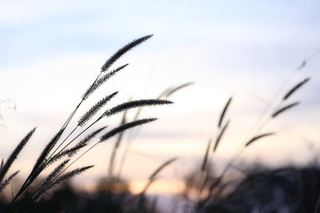 Nature grass flower in sunset, Shallow depth of field.