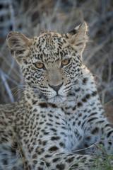 Leopard (Panthera pardus) juvenile. Kalahari. Botswana