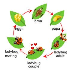 Vector of ladybug life Cycle for kids