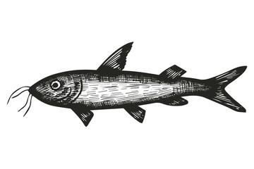 Marine fish catfish sketch. vector illustration