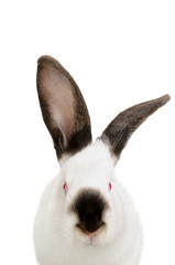 Portrait of a funny white albino rabbit, closeup, isolated on white background