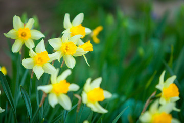 beautiful background image of autumn yellow daffodils