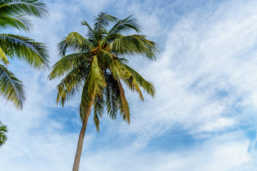 coconut leaf on blue sky