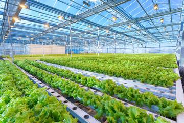 Fototapeta Green salad growing in greenhouse obraz