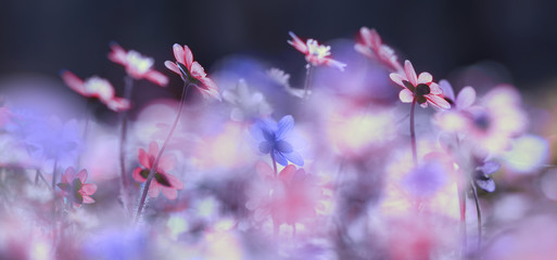 Spring flowering bloom wallpaper. Many lilac purple wild flowers in forest on glade glow in sun on a dark background macro soft focus. Spring templates, amazing magic artistic image.