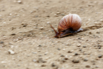 Fast moving Giant land snail crossing a dirt road in Kruger park. Achatina fulica