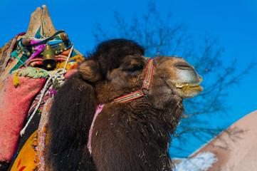 brown camel closeup