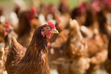 Closeup of a red chicken on a farm in nature. Hens in a free range farm. Chickens walking in the farm yard.
