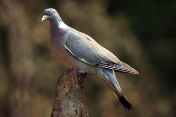 The common wood pigeon (Columba palumbus) sitting on the end of the dry strain