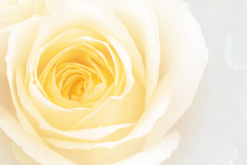 closeup colorful rose