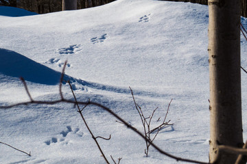 Little paws on the snow behind some tree branches. Quebec, Canada.