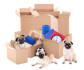 moving day concept - brown cardboard boxes and cute dogs isolate