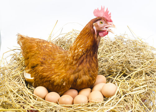 full body of brown chicken hen with eggs isolated white background