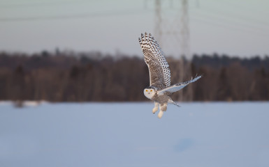 Snowy owl (Bubo scandiacus) flies low over an open snowy field in Canada