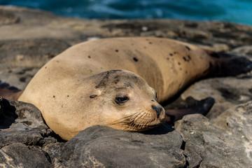 California SeaLion