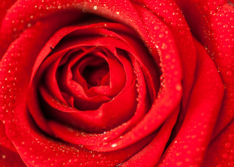 close up splashed beautiful red rose