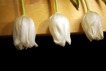 Fresh three white tulips on wooden planks