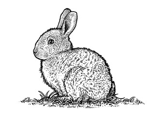 Bunny, drawing, engraving, illustration