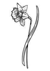 Daffodil, engraving, drawing, illustration