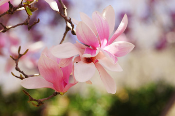 Saucer magnolia flowers up close