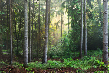 Sun rays in a foggy misty forest with rich vegetation. Germany, Osnabruck