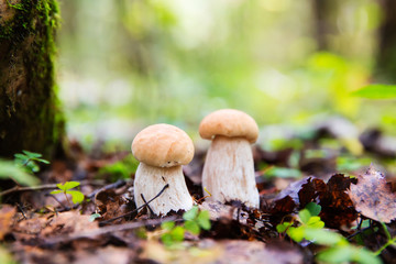 Boletus edulis mushrooms in the forest (penny bun, cep, porcino or porcini)