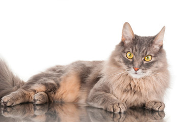 Furry gray cat on white background