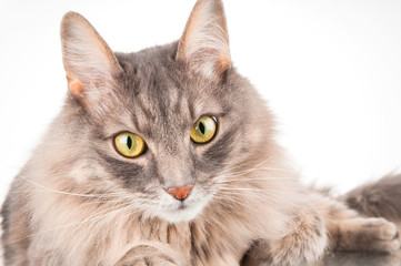 Household gray cat closeup on white background