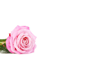 Beautiful pink rose isolated on a white