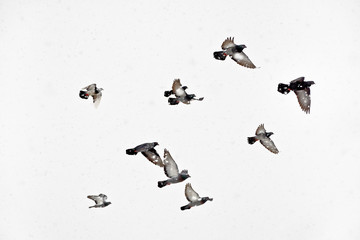 Flock of pigeons flying in snowstorm Flight doves during blizzard