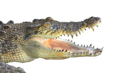 Close up of crocodile with open mouth showing teeth isolated on a white background