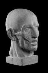 anatomical plaster head of a man.