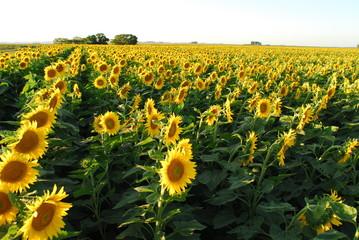 girasol, flor, agricultura, cultivo, sol, paisaje, horizonte, agro,  naturaleza, planta, alimento