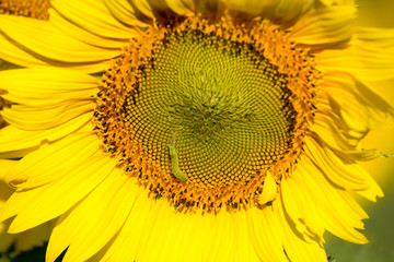 closeup sunflower and caterpillar