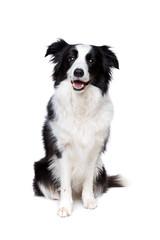 black and white border collie dog