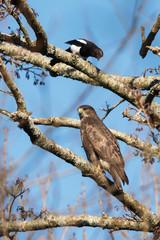 Common Buzzard and Magpie