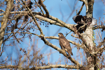 Common Buzzard and Magpie