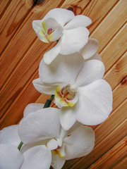 White orchid on wooden wall
